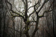 老树分支与绿色青苔的在古老森林里 库存照片
