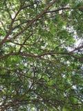 老树和叶子在庭院里绿化 免版税库存照片
