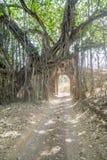 老树和曲拱在密林 免版税库存照片