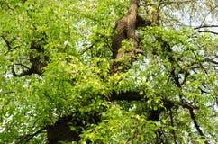 老树和树芽 库存图片