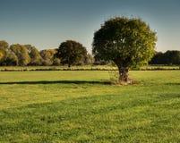 老树在一个晴朗的10月早晨 免版税库存图片