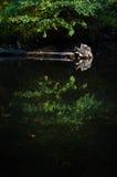 老树在一条镜子般的河 免版税库存照片