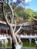 老树在中国宫殿 库存图片