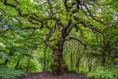 老树在密林 免版税库存图片