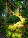 老树在日落光的一个森林里 免版税库存照片