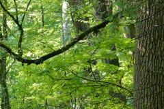 老树在春天森林里 免版税库存图片