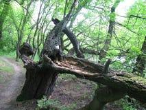 老树在森林里 免版税库存照片