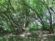 老树在森林里 库存照片