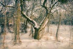 老树在用雪盖的果树园 免版税库存照片