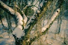 老树在用雪盖的果树园 免版税库存图片
