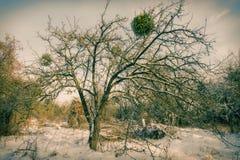 老树在用雪盖的果树园 库存照片