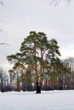 老树在Tsaritsyno公园在莫斯科 免版税库存图片