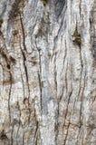 老树干被构造的吠声 自然抽象的背景 免版税图库摄影