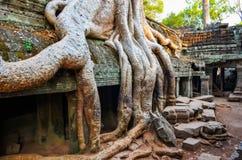 老树根和古庙废墟细节在吴哥窟的 免版税库存照片