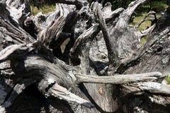 老树根在庭院里 免版税库存照片