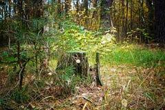 老树桩在森林长满与青苔 苹果覆盖花横向草甸本质星期日结构树 库存图片