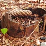 老树桩在森林 图库摄影