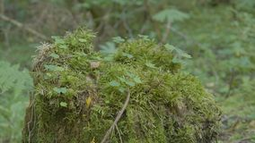 老树桩在用与大根的青苔盖的森林里 在树桩的青苔在森林里 免版税库存图片