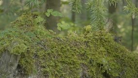 老树桩在用与大根的青苔盖的森林里 在树桩的青苔在森林里 库存照片
