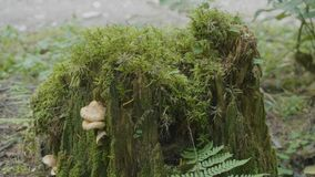 老树桩在用与大根的青苔盖的森林里 在树桩的青苔在森林里 免版税库存照片