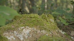 老树桩在用与大根的青苔盖的森林里 在树桩的青苔在森林里 图库摄影