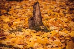 老树桩在秋天森林里 免版税库存照片