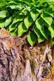 老树桩的绿色植物 图库摄影