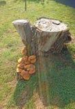 老树桩结构树 免版税库存图片