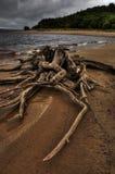 老树桩详细资料在沙子海滩的 库存照片