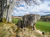 老树桩结构树 库存图片