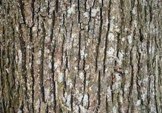 老树的吠声在森林里 库存图片
