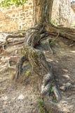 老树的根在一个老堡垒 免版税库存图片