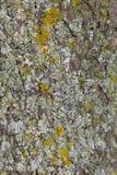老树皮细节与地衣和mos的 免版税图库摄影