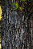 老树自然纹理的吠声 库存照片