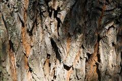 老树自然纹理的吠声 免版税库存图片