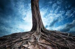 老树风景背景和根在晚上 免版税库存图片