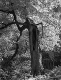 老树,黑白照片 免版税库存图片