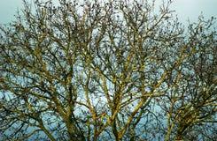 老核桃树 库存照片