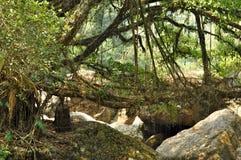 老根桥梁在印度 库存照片