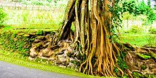 老根结构树 库存图片