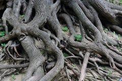 老根结构树 免版税库存图片