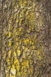 老桦树吠声纹理与绿色青苔的 免版税库存照片