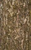 老桦树吠声纹理  库存照片