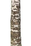 老桦树树干  免版税库存图片