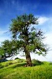 老梨野人结构树 免版税库存照片