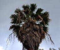 老棕榈树无危险天空 库存照片