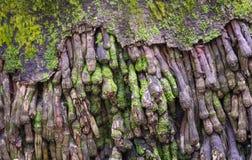 老椰子根,自然抽象纹理  免版税图库摄影