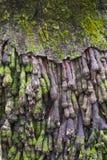 老椰子根,自然抽象纹理  免版税库存照片