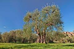 老橄榄树在塞贾诺,格罗塞托,托斯卡纳,意大利 库存图片