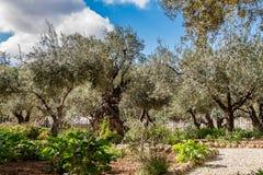 老橄榄树在Gethsemane庭院里  免版税图库摄影